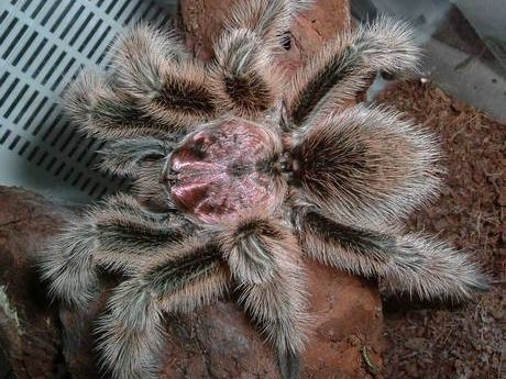 A large hairy spider.