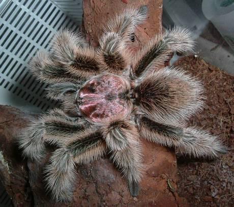 Chilean rose tarantula. Source: Wikipedia