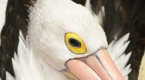 A pelican with botulism at the RSPCA.