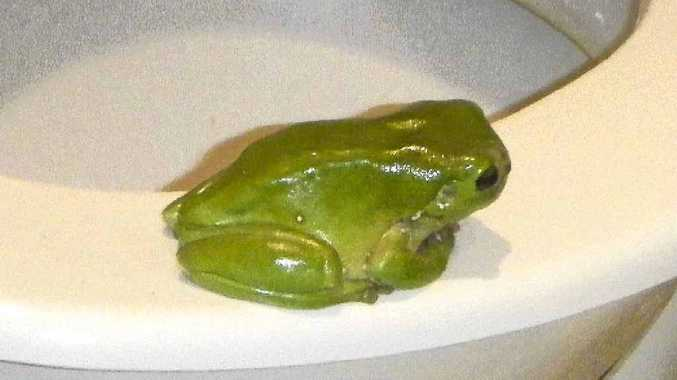 FROG ON THE THRONE: Brenda, who lives at Riverbend at West Ballina, sent in this photo of a regular visitor to her toilet.