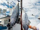 Large yellow fin tuna hauls reported off the coast