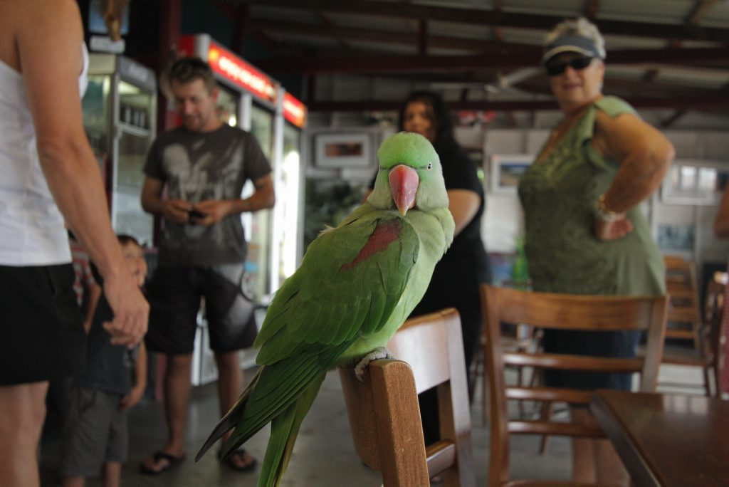 The green parrot that was found wandering around the popular coffee shop at Scarness made himself at home at Enzos.