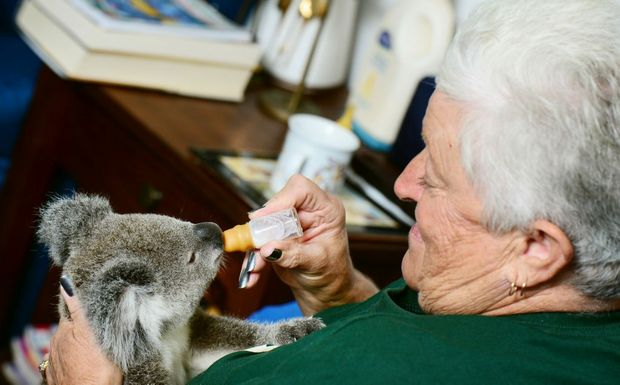 Ipswich Koala Protection Society vice president Marilyn Spletter of Hatton Vale with Webcke. Photo: David Nielsen / The Queensland Times