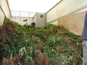 1200 dope plants seized at Uki