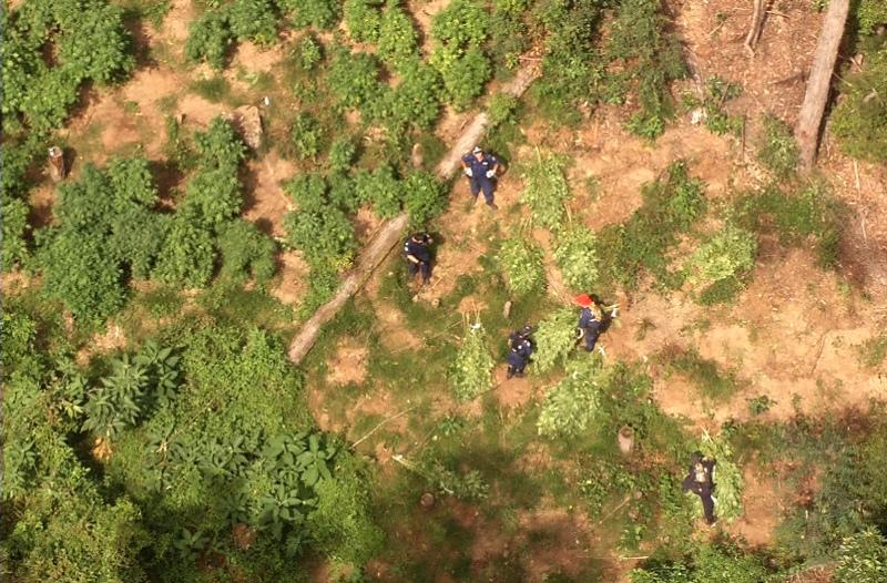 Officers seize a cannabis crop near Bellingen this week.