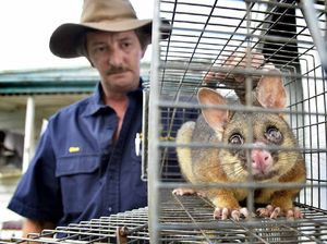 What's that racket? It's possum-breeding season