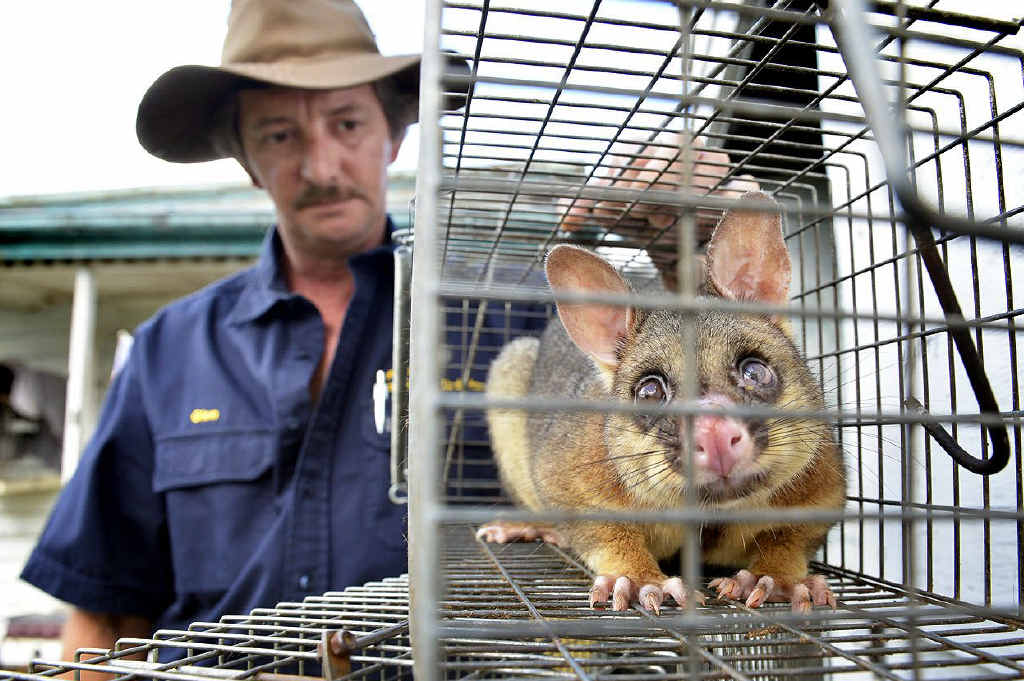 WHY ME? Glen Collins with an older male possum removed from a property in Brassall. Incidents of possums making their nests in garages and roofs increase in the winter months.