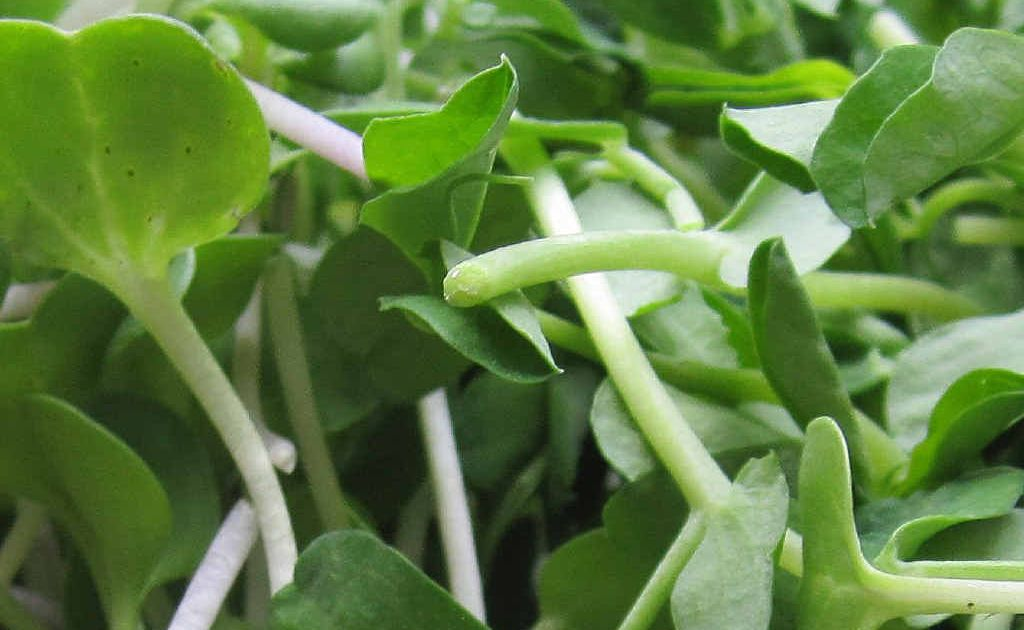 Radish and pea sprouts.