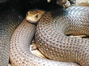 Pets at risk of snake bites, but anti-venom might be answer