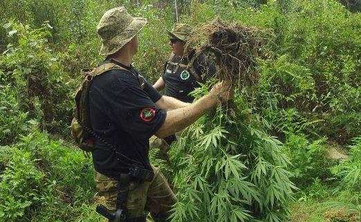 Police target a cannabis plantation near Bellingen.