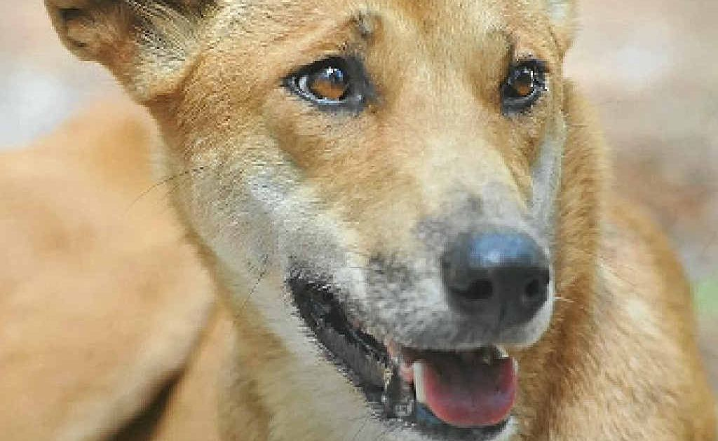 A dingo has been spotted at the Nambour Golf Course.