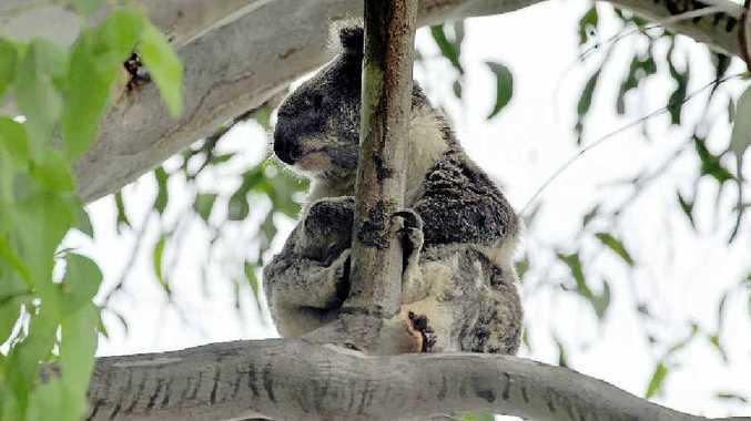 Harper the koala is a well known identity in Hastings Street.