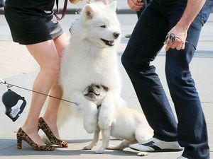 Hugh Jackman's dog in pooch pile-up