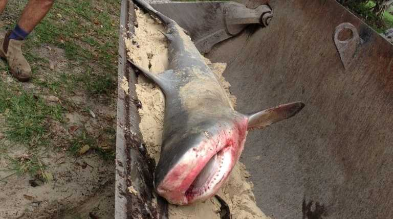 The shark pulled from the water at Noosa's Main Beach.