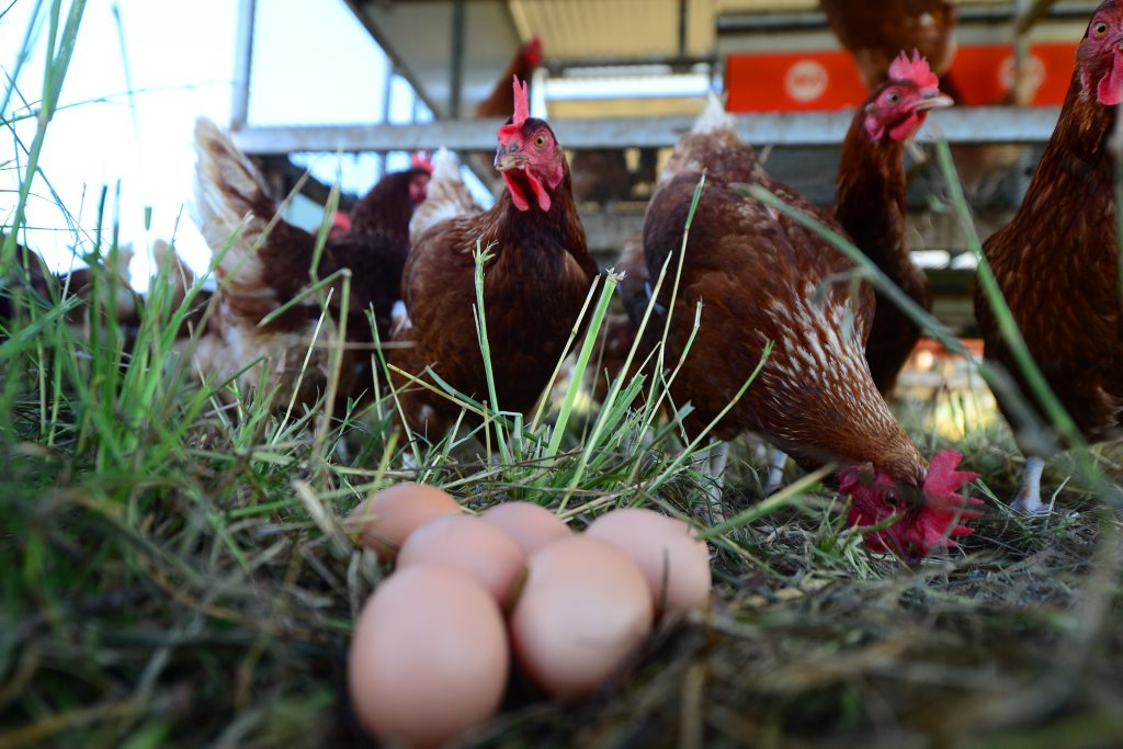 Silverdale Eggs, Calliope. The only RSPCA Free range egg producer in Queensland.