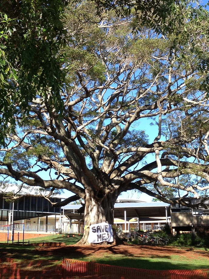 The fig tree at Alstonville Public School