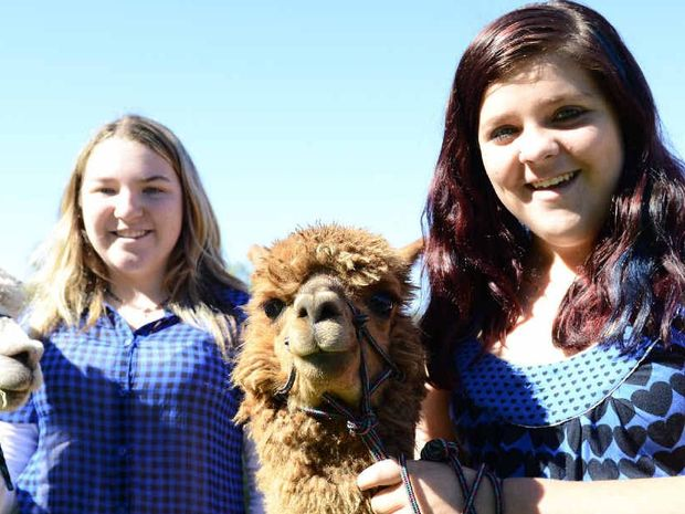 ON SHOW: Cassie Timmins and Nadine Sedger with their alpacas in the show ring at the 147th Grafton Show on Saturday. Photo: Debrah Novak