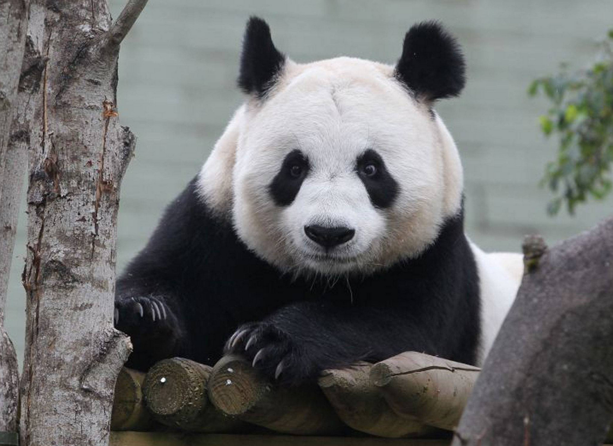 Natural mating was not attempted between Tian Tian, pictured, and male Yang Guang (Sunshine) as scientists who have been monitoring them at Edinburgh Zoo decided that Tian Tian was showing signs that were not