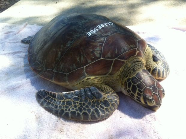 Clerese the green turtle was found floating in the Boyne Island/Tannum Sands area late last month weighing only 13.8kg. So far she is responding well to treatment at the Quoin Island Turtle Rehabilitation Centre.