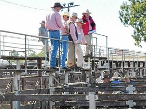 STOCK YARDED: Toowoomba Elders livestock agents at the cattle sale on Monday.