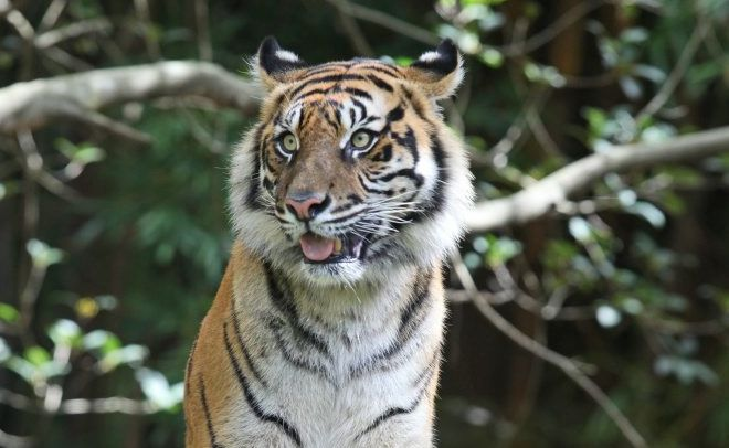 AUSTRALIA Zoo is saddened to announce that Kaitlyn, our gorgeous Sumatran tiger, has lost her tiger cubs early in her pregnancy. Kaitlyn was due to deliver the cubs in late June.