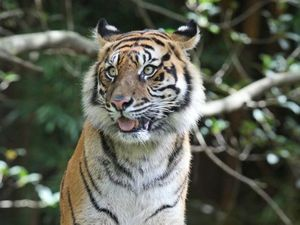 Cubs on the way for Australia Zoo's Sumatran tiger