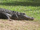 Macca the 6 foot American alligator moving to his new enclosure at the Australia Zoo. Photo Darryn Smith / Sunshine Coast Daily