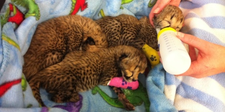 Three newborn cheetah cubs at After Hours Veterinary Hospital in Christchurch.
