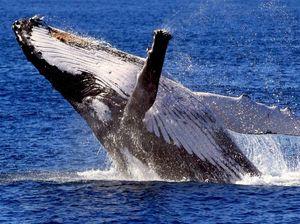 Cooloola Coast expects bumper whale season