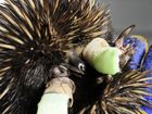 INJURED: This echidna is recovering at the RSPCA's wildlife hospital after being found badly injured in Redbank Plains.