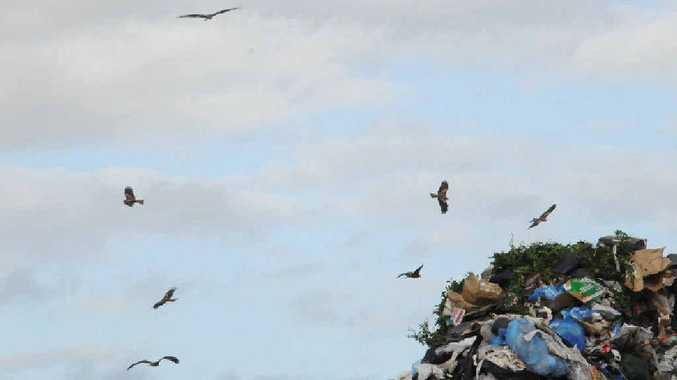 Up to 60 black kites have been spotted at the Bonnick Rd refuse tip.