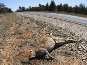 Animal collisions on the road can endanger lives