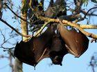 Bat colony at Tooan Tooan Creek- Photo: Robyne Cuerel / Fraser Coast Chronicle