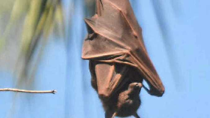 Residents in Tewantin are sick of a flying fox colony.
