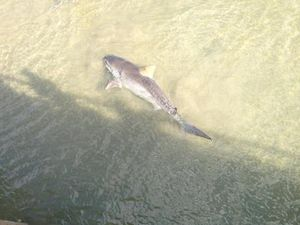 Fisheries officer will investigate Urangan tiger shark catch