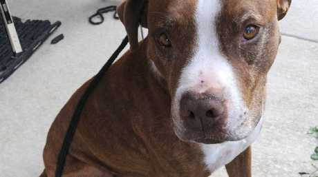 Buddah will be an indoors dog for a while now, his injured owner reckons.