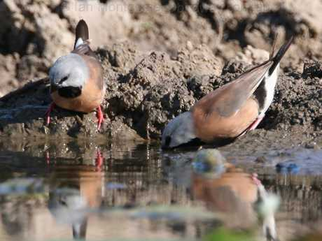 The China First mine planned for the Galilee Basin could have an impact on the endangered Black-throated Finch in the Bimblebox Nature Reserve.