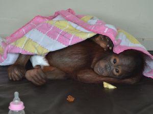 Saving orangutans in Borneo