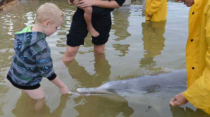 Chase Mill feeds his first dolphin at Tin Can Bay yesterday.