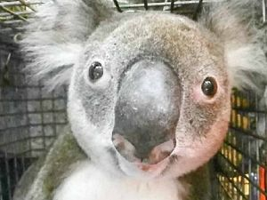 End of the line for Noosa koalas as rescuer despairs