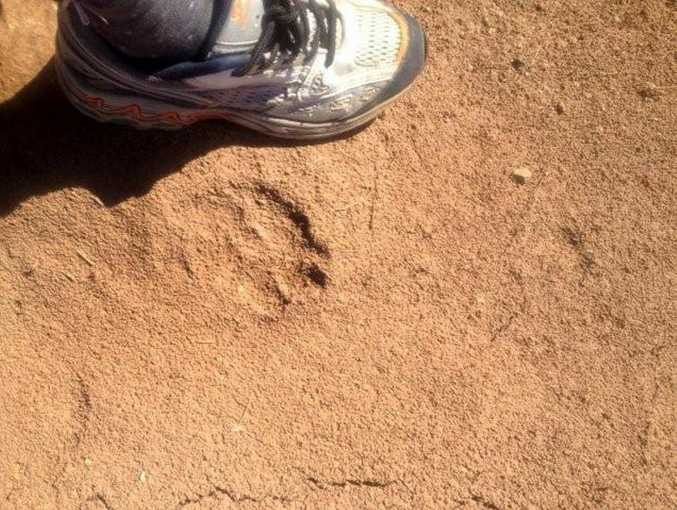 The footprints left by 'The Beast of Boonah' on Ron Horner's property.