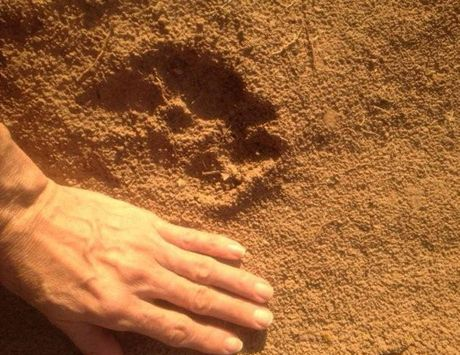 The footprints left by the 'Beast of Boonah' on Ron Horner's property.