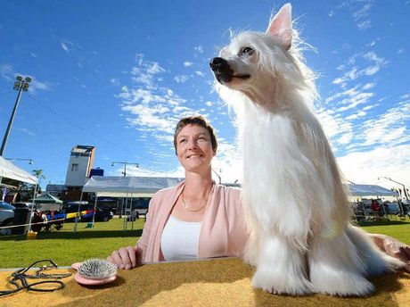 Gold Coast exhibitor Ruth Cook with Schatzi, her chinese crested powder puff which won the toy group at the Ipswich Show yesterday.