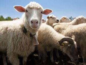 Sheep has heart of gold (ok metal) thanks to space science
