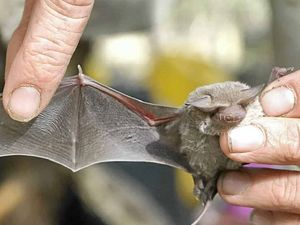 Learn more about bats at Hervey Bay Library