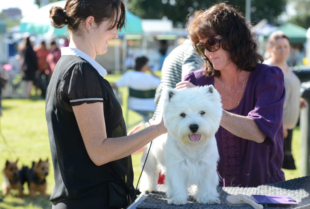 Tammy Boughen with her mum Tracey getting her west highland white terrier dog 'Archie' ready for judging at the Ipswich Show. Photo: Sarah Harvey / The Queensland Times
