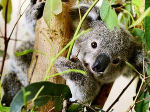 Conservationists hail koala refuge proposal