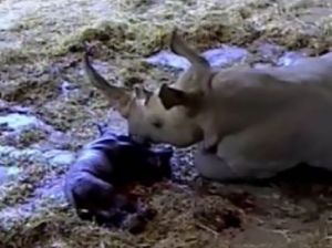 Baby rhino being born at Australia Zoo
