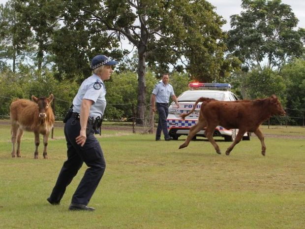 Maryborough police are trying to moo-ve along cows which escaped near the intersection of Walker St and the Bruce Hwy.