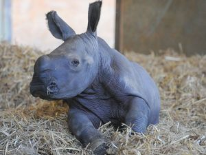 New rhino at Australia Zoo